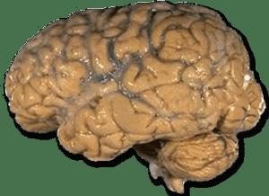 MenschlichesGehirn